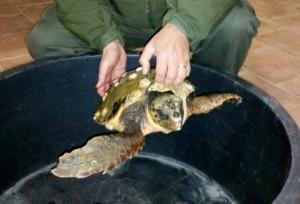 foto tartaruga recuperata