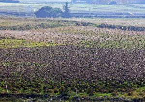 stormo-uccelli-migratori-a-terra